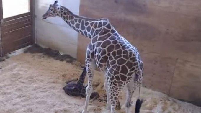 April the Giraffe, Internet Sensation, Finally
