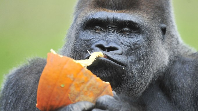Koko Dead: Gorilla Used Sign Language,